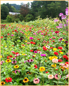 an assortment of flowers bloom at Lady Luck Flower Farm