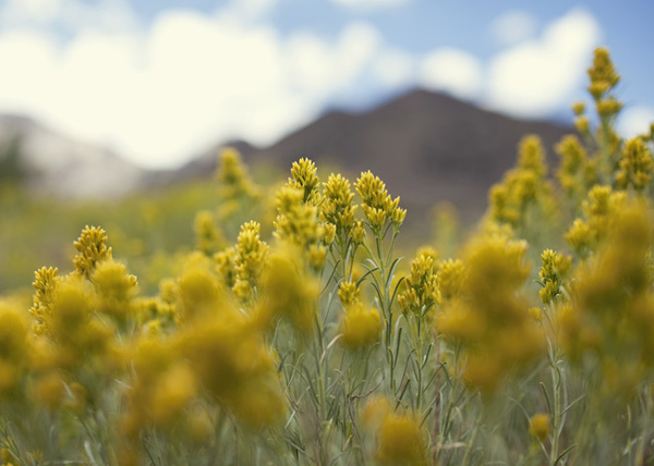 goldenrod and mountains