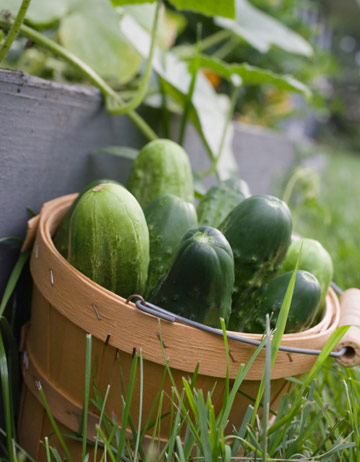 basket of organic cucumbers