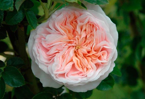 pretty pink Clair wedding roses