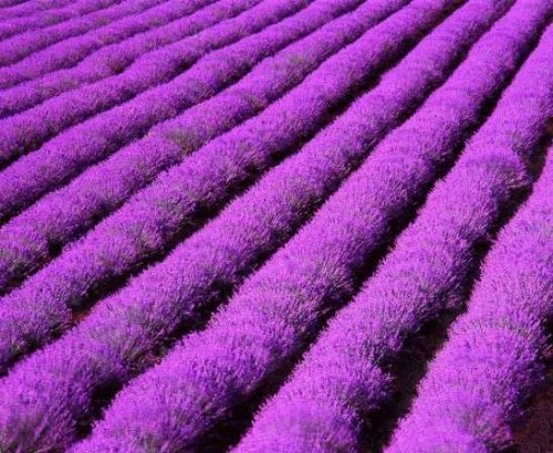 aerial view of lavander fields