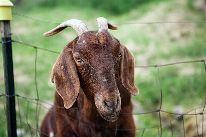 farm wedding goat Asheville Wedding Marissa Joy Photography via Mountainside Bride