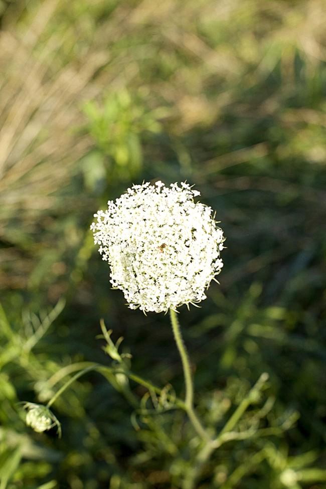 BELLEBUICE_WHITEFLOWER